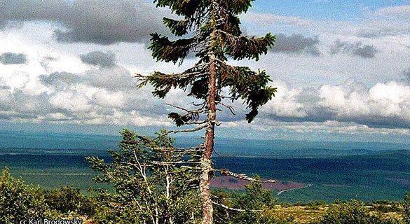 9500-yasindaki-agac Dünyanın En Yaşlı Ağacı 9500 Yaşında!
