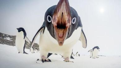 adelie-penguin-antarctica_89655_600x450