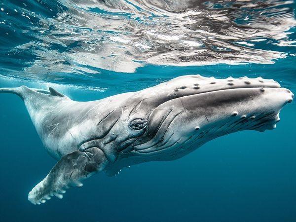 baby-humpback-whale_91284_600x450 2015 Yılı National Geographic