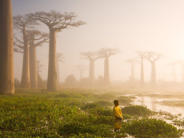 These baobab trees on Madagascar are up to 800 years old, and are locally known as ëmother of the forestí. The baobab forms a micro ecosystem of its own, supporting life for both animals and humans. Old hollow baobabs are a home to snakes, bats, bush-babies, bees, and sometimes even humans. More importantly, the tree is an important source of water. It can store up to 4,000 litres of water in its trunk. For Africa it is literally the tree of life. 2015 Yılı National Geographic