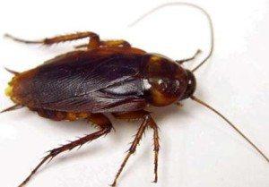 hamam böceği İlginç Bilgiler -2