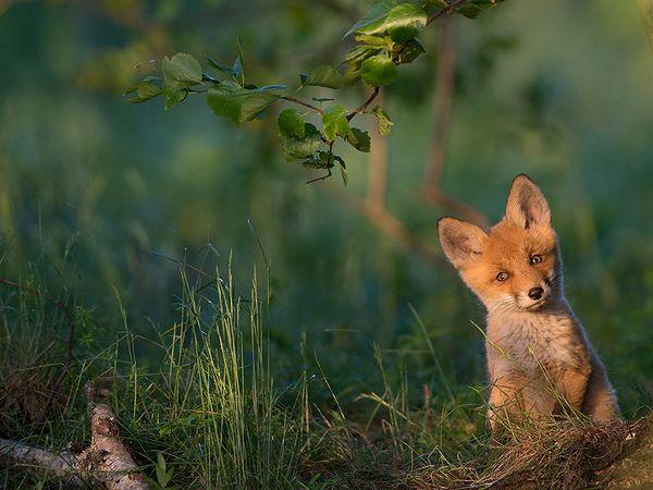 red-fox-estonia_91836_600x450 2015 Yılı National Geographic