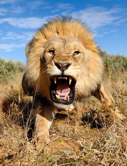 -aslan- Yeryüzünde İnsan Ölümüne En Çok Sebep Olan Canlılar ( Sıralamaya Dikkat!! )