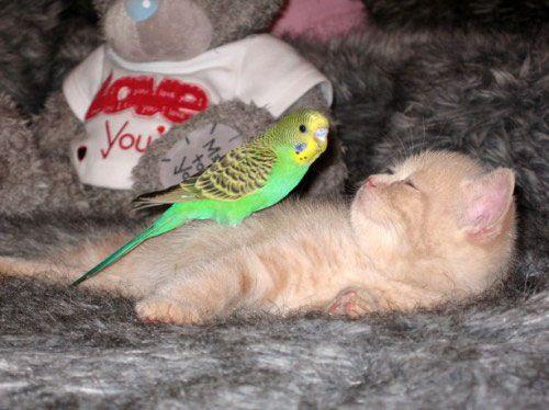evcil-- Muhabbet Kuşları Hakkında