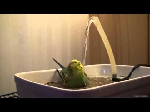 -kus-banyo- Muhabbet Kuşları Hakkında