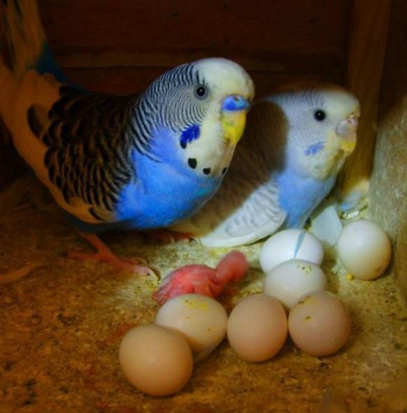 muhabbet-kusu-yumurta Muhabbet Kuşları Hakkında