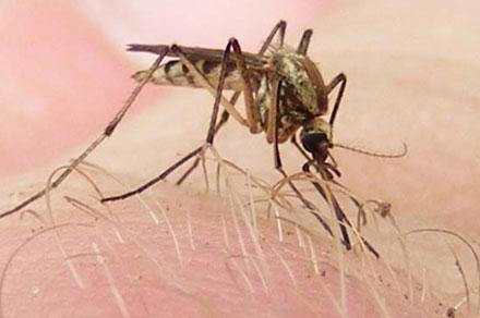 -sivri sinek- Yeryüzünde İnsan Ölümüne En Çok Sebep Olan Canlılar ( Sıralamaya Dikkat!! )