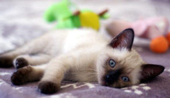 Siyam Kedisi Nedir ?