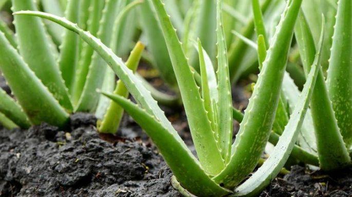 Aloe Vera Bitkisi Nedir? Faydaları Nelerdir?