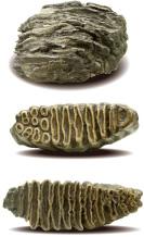 発掘されたナウマン象の臼歯