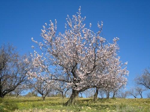 almond-blossom-ronda