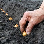 Planting-seeds-row