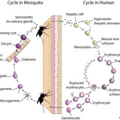 Human Life Cycle Stages Diagram 1983 Porsche 944 Wiring Malaria Site Eid Lec17 Slide8 Large