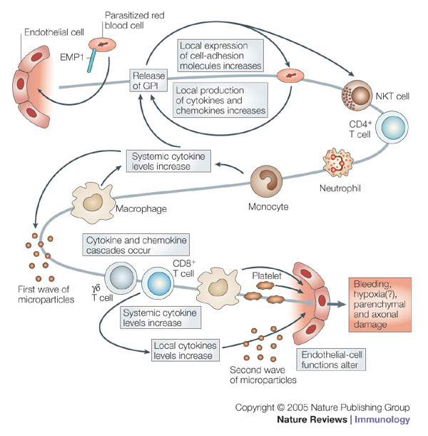 Pathophysiology – Malaria Site