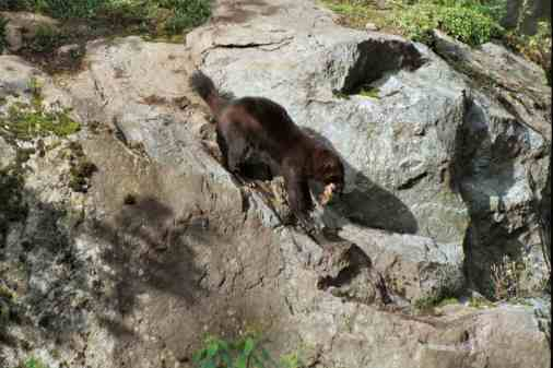 Wolverine at Skansen