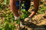 Working the vine in Chablis; making the branch stick horizontally to the wire.