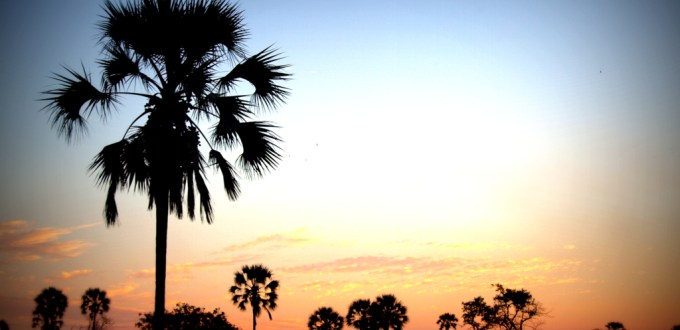 Sunset over fan palms in the Okavango Delta