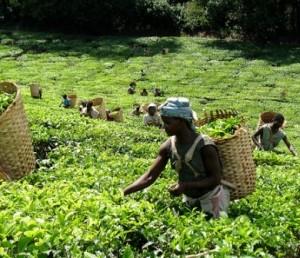 Malawians working in tea estates