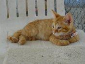 ginger-kitten-85