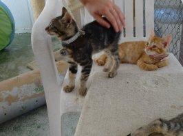 tabby-kitten-41-ginger