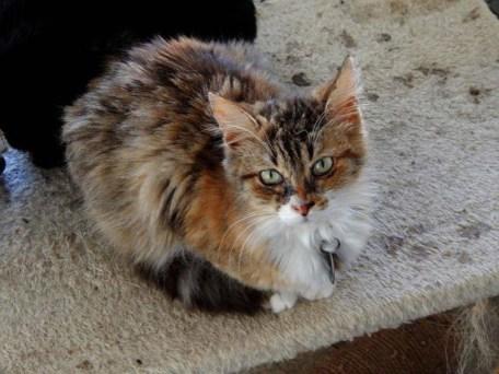 torty-kitten