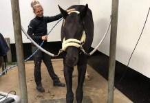 Hest strækker sig ved behandling med Equitron