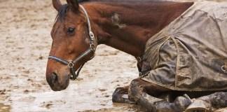 Hest ruller sig i mudder