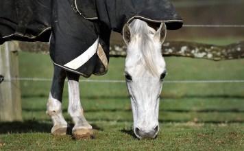 Hvid hest med dækken på spiser græs på fold