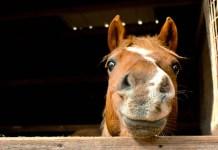 Sød hest