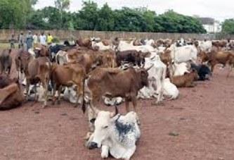 Élevage et de la pêche : Avec 12 111 128 bovins…, le Mali est l'un des plus grands pays d'élevage de la sous-région