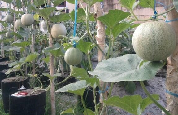 Cara Menanam Buah Melon