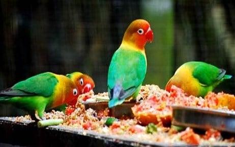 Pakan Alami Lovebird