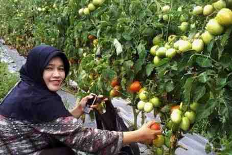 Syarat Tumbuh Tanaman Tomat