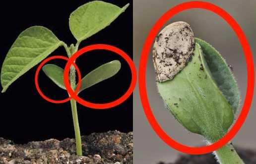Contoh dan Ciri Tumbuhan Dikotil