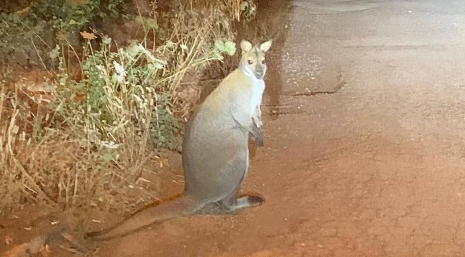 Polizei und Tierschützer jagen Känguru auf Mallorca