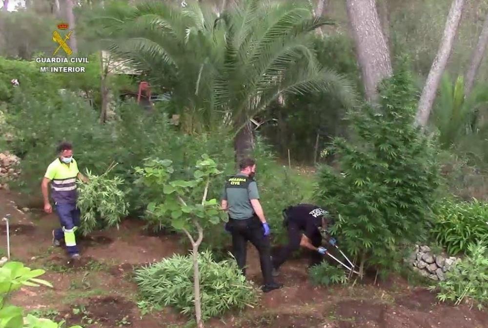 Eine der größten Marihuana-Plantagen auf den Balearen wurde ausgehoben