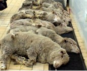 Bauer lässt Schafe verdursten