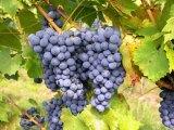Deutsche lieben Weine der Balearen