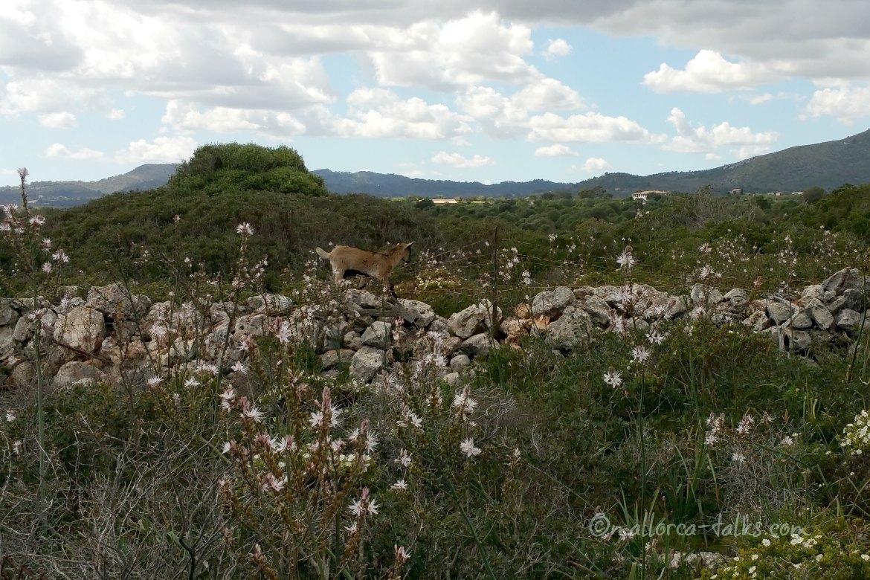 Ziegen lieben die Macchia auf Mallorca
