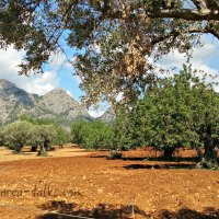 Mallorcas Pflanzenwelt: Johannisbrotbaum