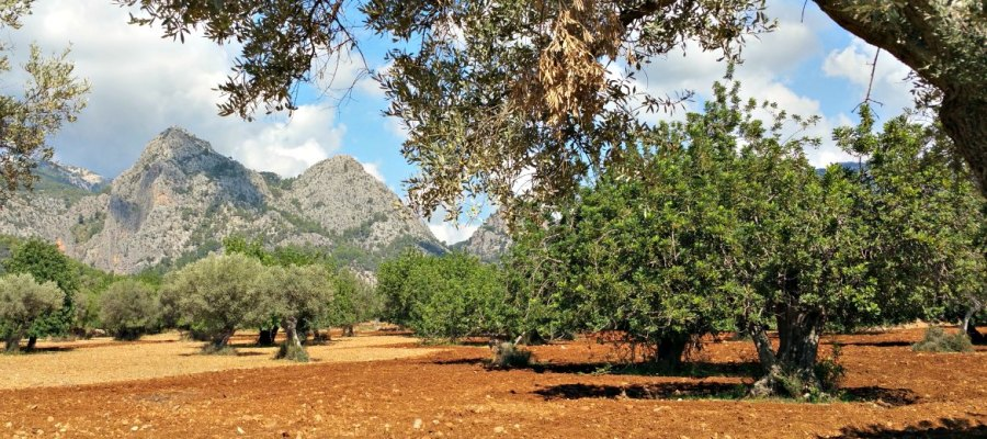 Mallorcas Pflanzenwelt: Johannisbrotbaum in Mitten einer Mandelplantage