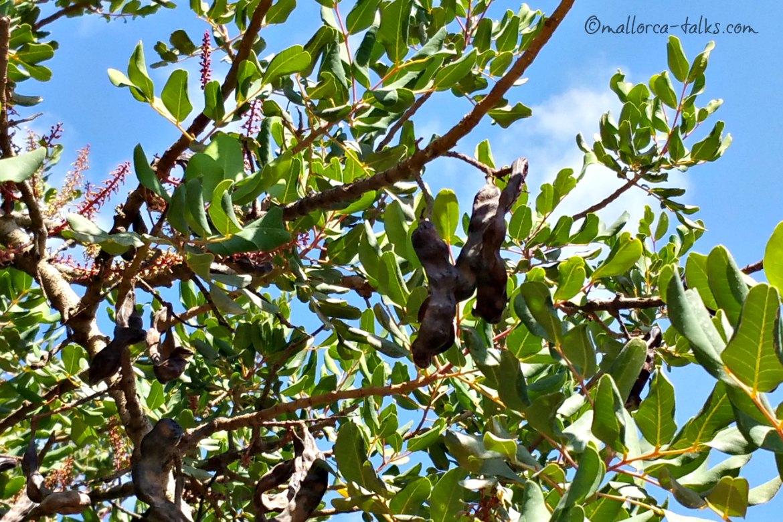 Schoten am Baum - Johannisbrotbaum