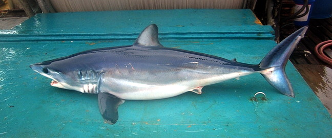 kein weißer Hai vor Mallorca - Makohai
