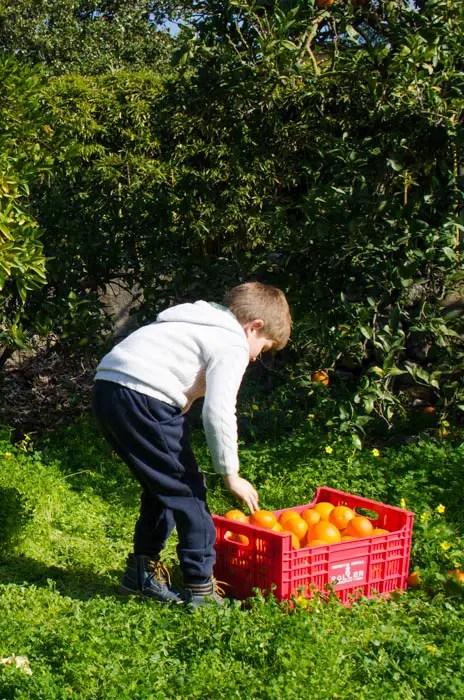 Orangen ernten in Mallorca
