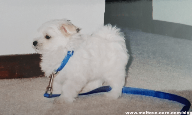 grieving the loss of maltese dog