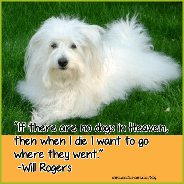 maltese dogs quotes 10
