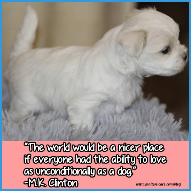 maltese dogs quote 4