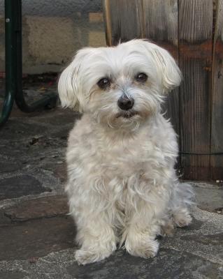 Mini Malteser Charakter Gre und Gewicht