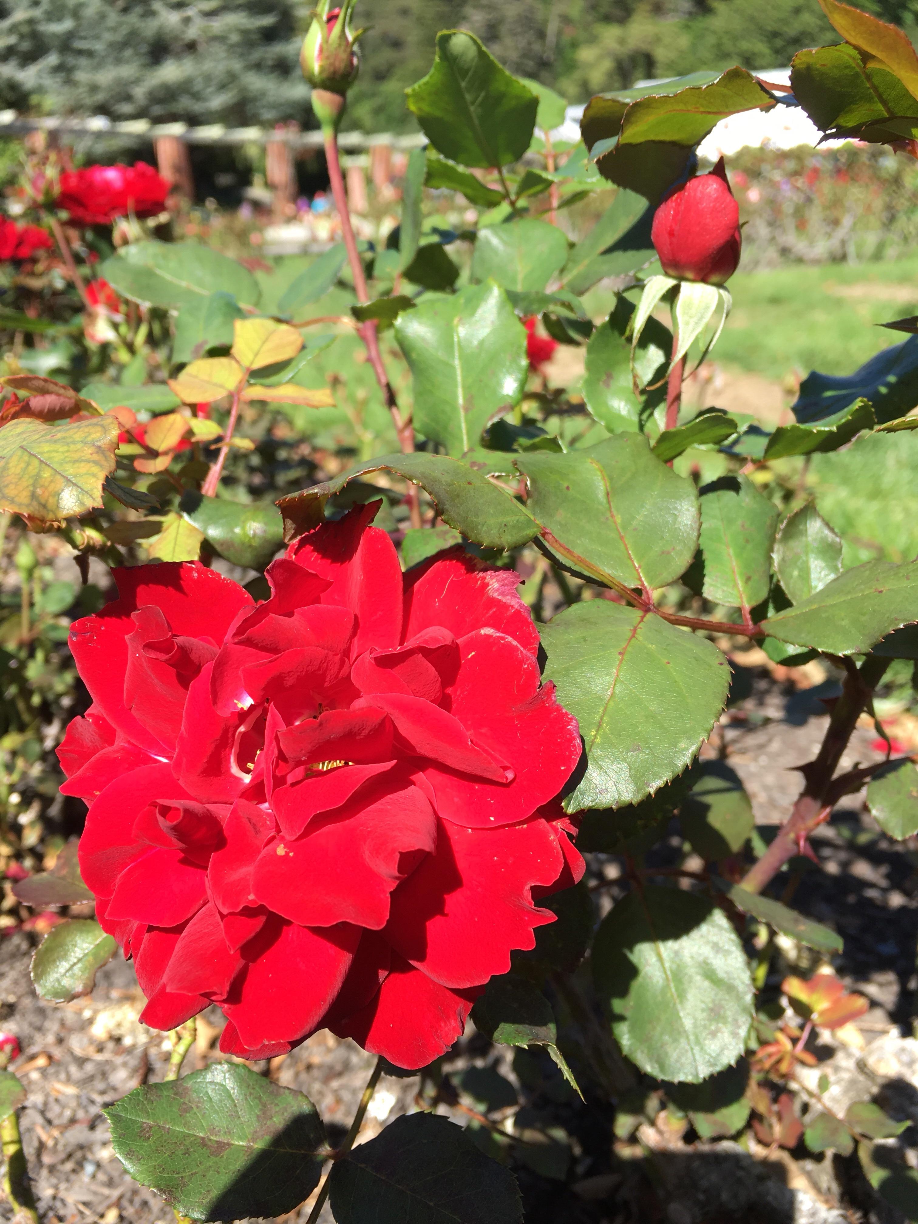 ニュージーランドの赤いバラ