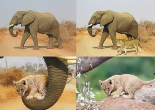 Aslan yavrusunu taşıyan fil fotoğrafı montaj unsurları